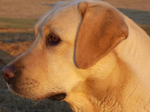 Gunnerson Labradors